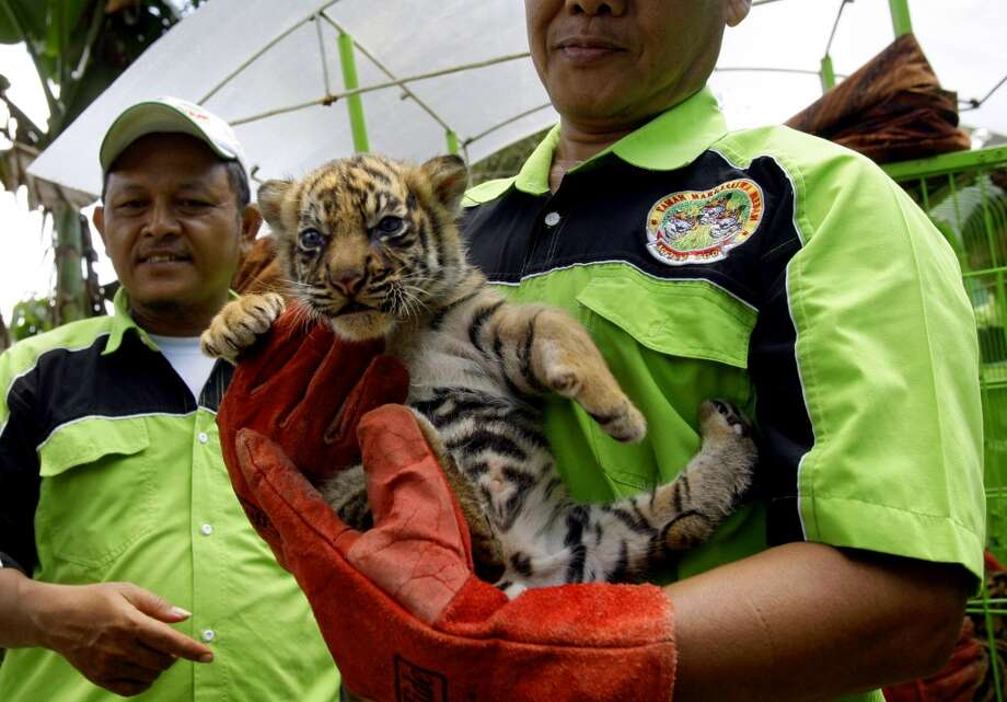 A keeper holds a one-month-old Sumatran tiger cub, one of three that were born last month, as he carries it from a cage to be shown to  the public for the first time at Medan Zoo in Medan, North Sumatra, Indonesia, Wednesday, Nov. 14, 2012. Conservationists fear that the critically endangered species, now only around 250 left in the wild, may become extinct in the next decade due to poaching and habitat loss. (AP Photo/Binsar Bakkara) Photo: Binsar Bakkara, Associated Press