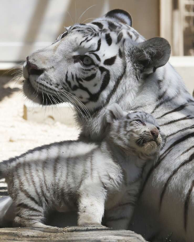 A 7-year-old white tiger sits with one of her cubs at Tobu Zoo in Miyashiro, near Tokyo, Thursday, May 2, 2013. Four newborn white tiger cubs made their first public appearance at the zoo on Thursday. The four cubs - one female and three males - were born 46 days ago. (AP Photo/Koji Sasahara) Photo: Koji Sasahara, Associated Press