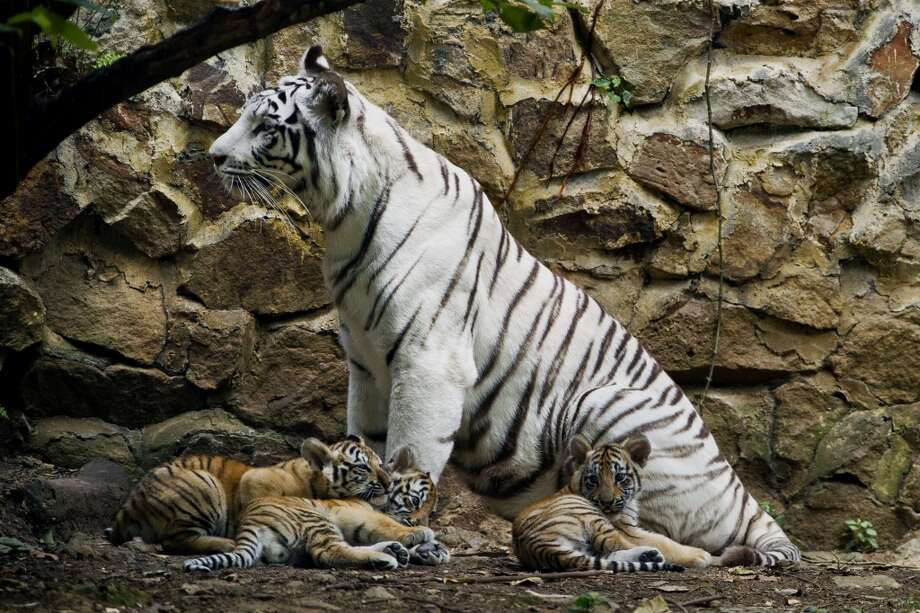 Indira, a bengal white tigress, sits with her ??cubs at the zoo of Cali, Colombia, on February 6, 2014. The three cubs were born on November 30, 2013. AFP PHOTO / LUIS ROBAYOLUIS ROBAYO/AFP/Getty Images Photo: LUIS ROBAYO, AFP/Getty Images