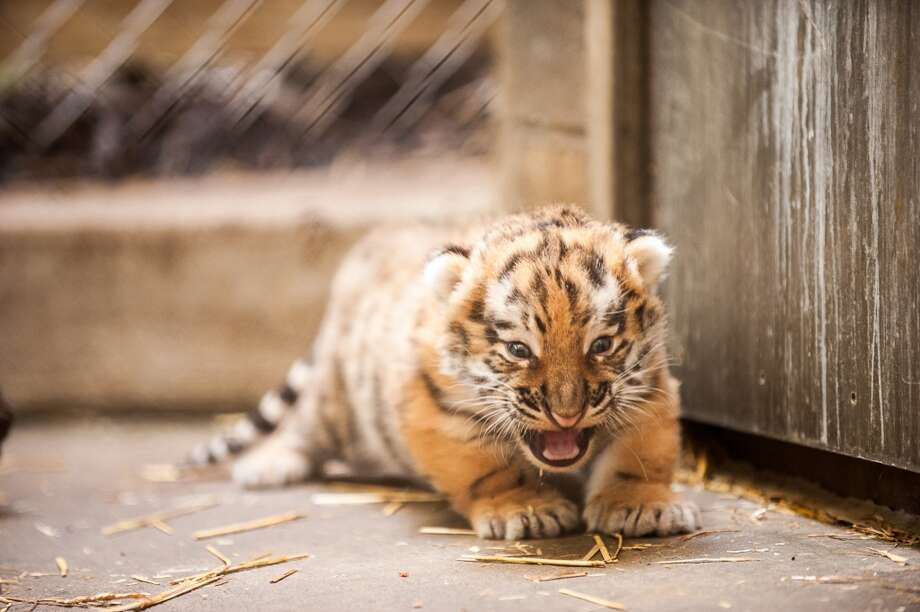 This undated photo provided by the Pittsburgh Zoo and PPG Aquarium shows the new Amur tiger cub in a restricted area at the zoo. The cub is still too small to display in the zoo's outside yard, so visitors will hve to settle for viewing him on a video monitor at a window into the outdoor display. (AP Photo/Pittsburgh Zoo and PPG Aquarium, Paul A. Selvaggio) Photo: Paul A. Selvaggio, Associated Press