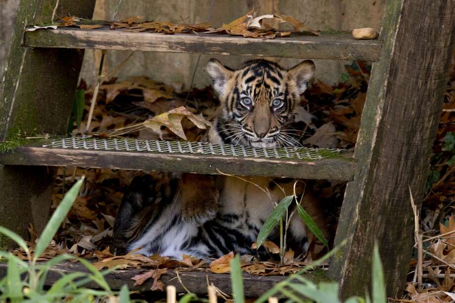 One of two Sumatran tiger cubs peeks out from a set of stairs during the cubs' public debut at the National Zoo in Washington, Monday Nov. 18, 2013. The cubs, who were born in August, are now on public view. (AP Photo/Jacquelyn Martin) Photo: Jacquelyn Martin, Associated Press
