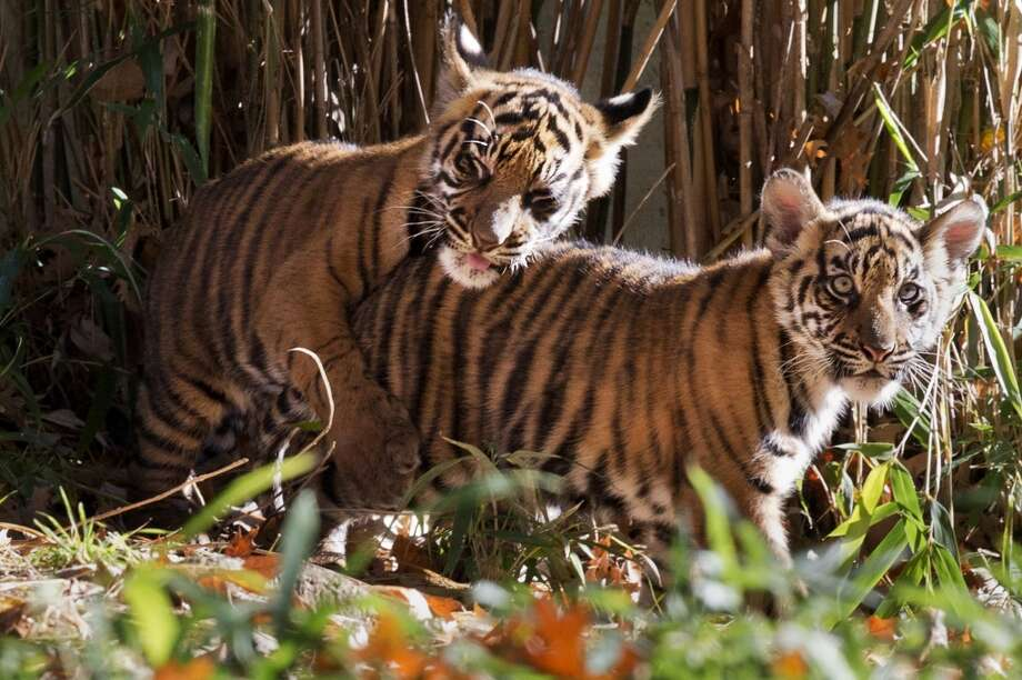 Two Sumatran tiger cubs, Bandar and Sukacita, play as they make their public debut at the National Zoo in Washington, Monday Nov. 18, 2013. The two cubs were born in August and are now on public view. (AP Photo/Jacquelyn Martin) Photo: Jacquelyn Martin, Associated Press