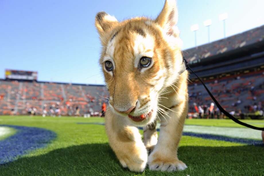 A tiger cub from the Alabama Gulf Coast Zoo makes an appearance before Auburn's college football game against Arkansas on Saturday, Oct. 6, 2012 in Auburn, Ala.(AP Photo/Todd J. Van Emst) Photo: Todd J. Van Emst, Associated Press
