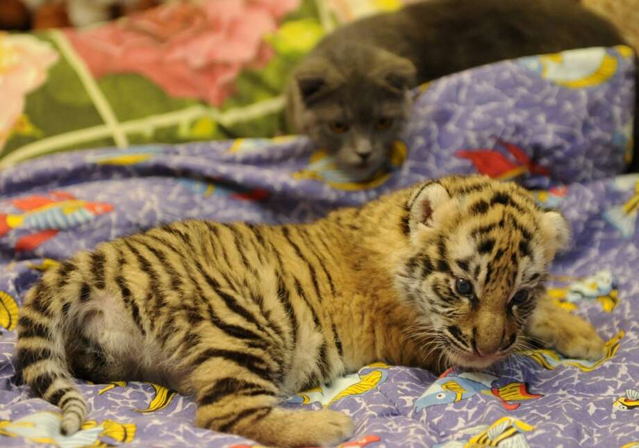 One of the three tiger cubs orphaned by a Swiss Shepherd dog, rests at home of Natalia Stepanova, a veterinarian of the Oktyabrsky Zoo, in the Russian Black Sea resort of Sochi, on December 4, 2012, with Stepanova's cat (back) attending. The three little tigers, two male and one female cubs, were born last month in the Oktyabrsky Zoo in Sochi but abandoned by their birth mother, tigress Bagira. AFP PHOTO / MIKHAIL MORDASOV  AFP PHOTO / MIKHAIL MORDASOVMIKHAIL MORDASOV/AFP/Getty Images Photo: MIKHAIL MORDASOV, AFP/Getty Images