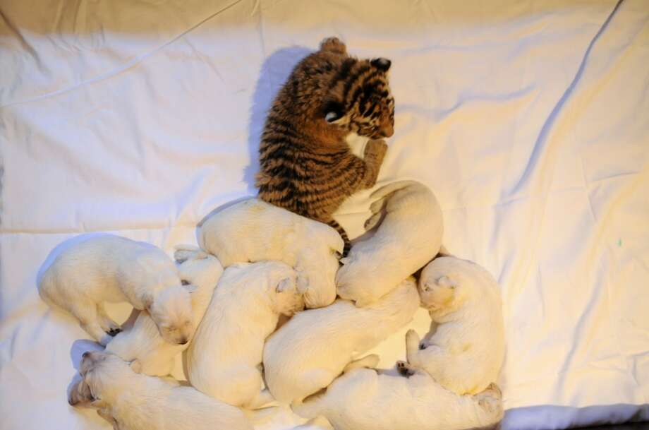 One of the three tiger cubs orphaned by Swiss Shepherd dog, Talli, rests near Talli's own cubs in the Russian Black Sea resort of Sochi, on December 4, 2012.  Three little tigers, two male and one female cubs, were born last month in the Oktyabrsky Zoo in Sochi but abandoned by their birth mother, tigress Bagira. AFP PHOTO / MIKHAIL MORDASOV  AFP PHOTO / MIKHAIL MORDASOVMIKHAIL MORDASOV/AFP/Getty Images Photo: MIKHAIL MORDASOV, AFP/Getty Images