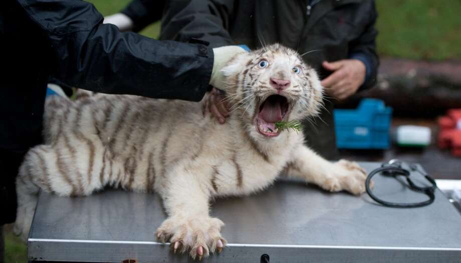A white tiger cub gets a physical examination on January 30, 2013 at the Serengeti wildlife park in Hodenhagen, central Germany. The tiger cub was born at the park in October 2012.      AFP PHOTO / JULIAN STRATENSCHULTE    GERMANY OUTJULIAN STRATENSCHULTE/AFP/Getty Images Photo: JULIAN STRATENSCHULTE, AFP/Getty Images