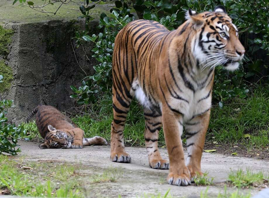 SAN FRANCISCO, CA - APRIL 12:  A two-month-old Sumatran tiger cub plays with its mother, Leanne, in their enclosure at the San Francisco Zoo on April 12, 2013 in San Francisco, California.  The san Francisco Zoo introduced a two-month-old Sumatran tiger cub to the public for the first time since it was born.  (Photo by Justin Sullivan/Getty Images) *** BESTPIX *** Photo: Justin Sullivan, Getty Images