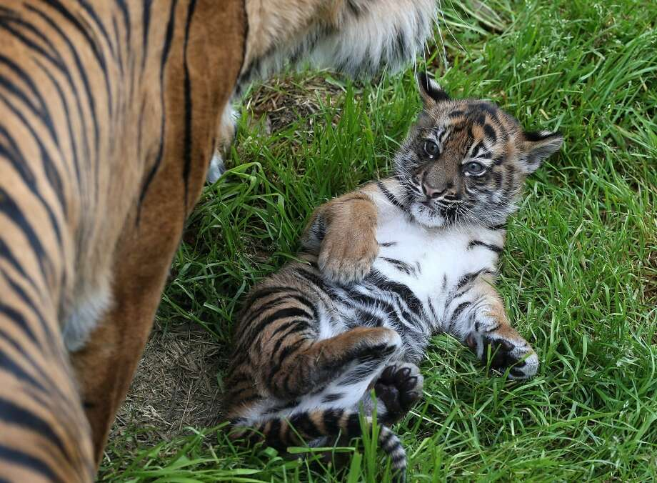 SAN FRANCISCO, CA - APRIL 12:  A two-month-old Sumatran tiger cub sits in the grass with its mother, Leanne, in their enclosure at the San Francisco Zoo on April 12, 2013 in San Francisco, California.  The san Francisco Zoo introduced a two-month-old Sumatran tiger cub to the public for the first time since it was born.  (Photo by Justin Sullivan/Getty Images) Photo: Justin Sullivan, Getty Images