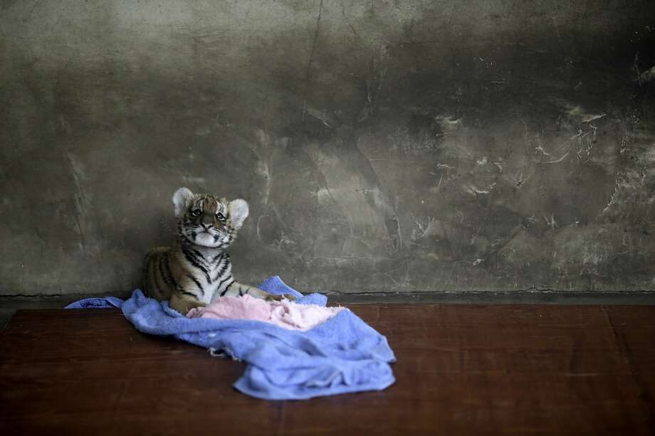 A tiger cub rests at a nursery room at the Shanghai Zoo in Shanghai, China, Thursday Oct. 4, 2012. (AP Photo/Eugene Hoshiko) Photo: Eugene Hoshiko, Associated Press