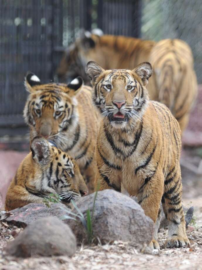 Three nine-month old tiger cubs are pictured in their enclosure at the Nehru Zoological Park  in Hyderabad on February 15, 2014. The cubs, which have yet to be named, were presented for their first public viewing at the zoo. AFP PHOTO / Noah SEELAMNOAH SEELAM/AFP/Getty Images Photo: NOAH SEELAM, AFP/Getty Images