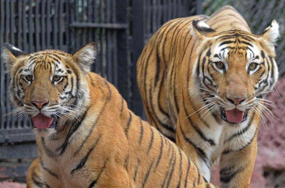 A nine-month old tiger cub is pictured with its mother Aparna (R) in their enclosure at the Nehru Zoological Park in Hyderabad on February 15, 2014. The cubs, which have yet to be named, were presented for their first public viewing at the zoo. AFP PHOTO / Noah SEELAMNOAH SEELAM/AFP/Getty Images Photo: NOAH SEELAM, AFP/Getty Images