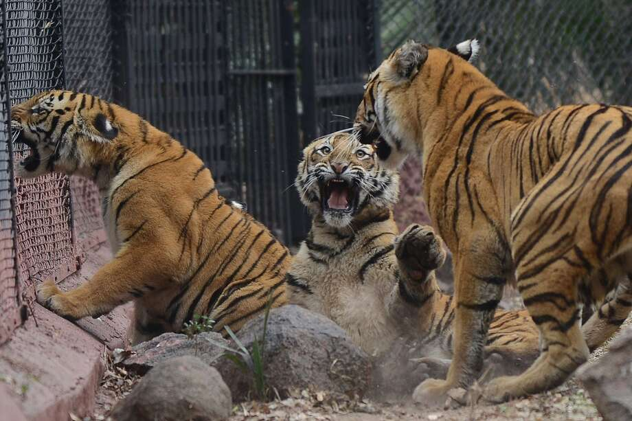 A nine-month old tiger cub (C) play fights with its mother Aparna (R) in their enclosure at the Nehru Zoological Park in Hyderabad on February 15, 2014. The cubs, which have yet to be named, were presented for their first public viewing at the zoo. AFP PHOTO / Noah SEELAMNOAH SEELAM/AFP/Getty Images Photo: NOAH SEELAM, AFP/Getty Images