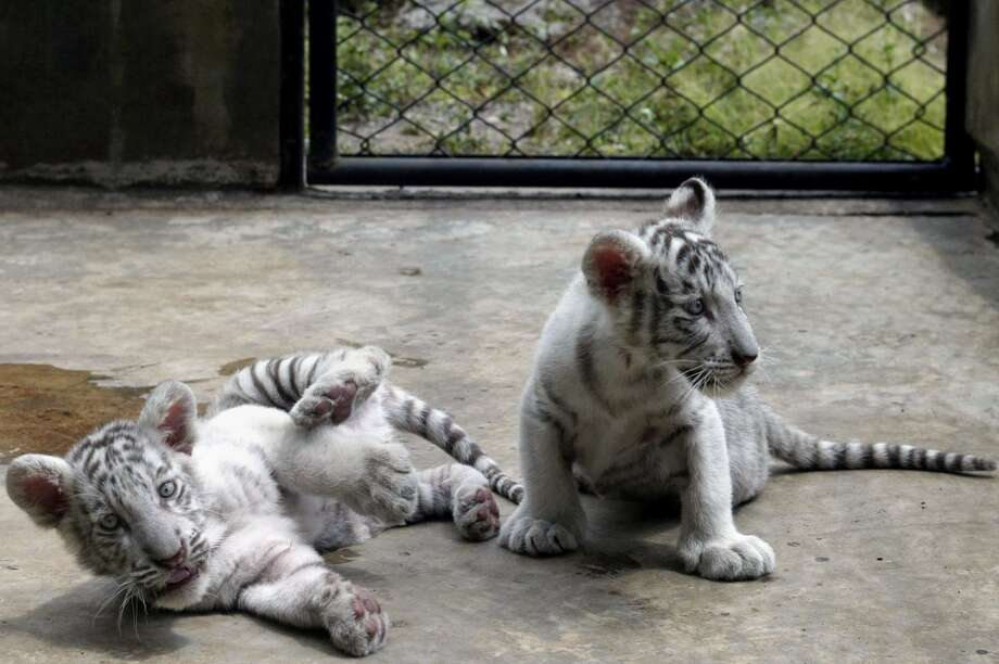 Two white bengal tiger cubs play inside their cage at the Pringen Safari park in Pasuruan on August 29, 2013. A white bengal tiger Kartika (unseen) gave birth to three cubs named Badriah, d'Raisa and Salsabila on July 5 at the Pringen Safari park in Pasuruan.  AFP PHOTO / JUNI KRISWANTOJUNI KRISWANTO/AFP/Getty Images Photo: JUNI KRISWANTO, AFP/Getty Images