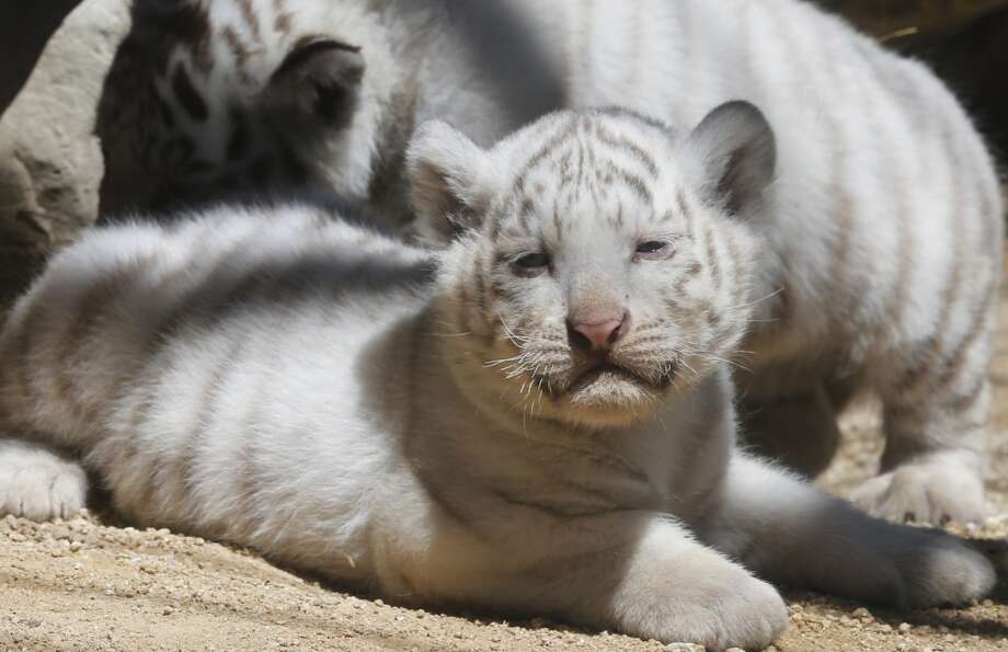 One of white tiger cubs sits at Tobu Zoo in Miyashiro, near Tokyo, Thursday, May 2, 2013. Four newborn white tiger cubs made their first public appearance at the zoo on Thursday. The four cubs - one female and three males - were born 46 days ago.  (AP Photo/Koji Sasahara) Photo: Koji Sasahara, Associated Press