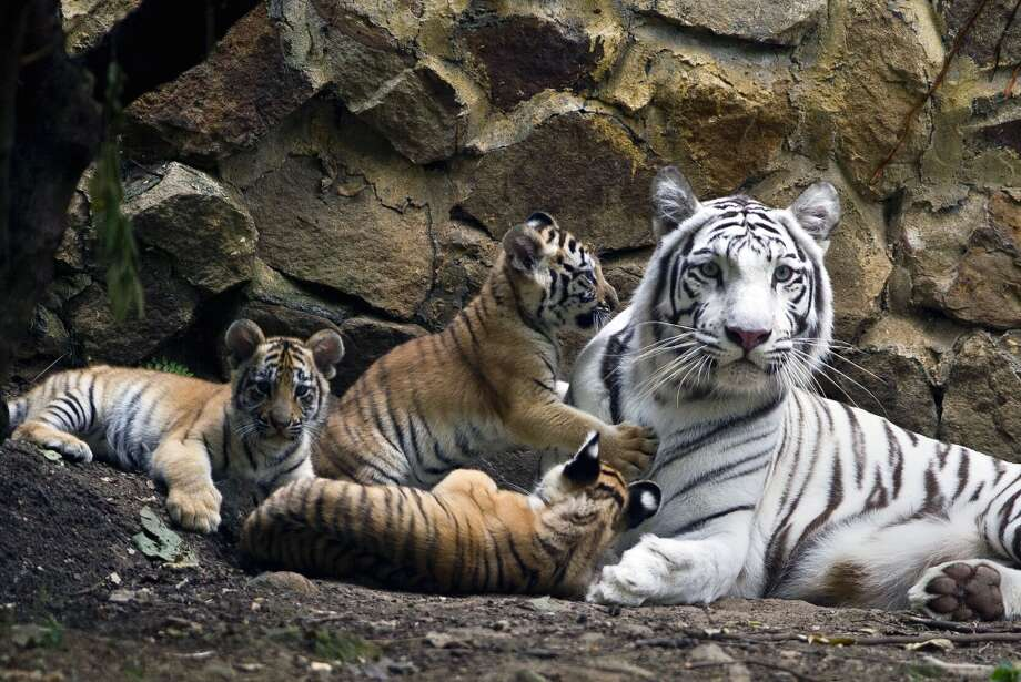 Indira a bengal white tigress, lies down with her ??cubs at the zoo of Cali, Colombia, on February 6, 2014. The cubs were born on November 30, 2013. AFP PHOTO / LUIS ROBAYOLUIS ROBAYO/AFP/Getty Images Photo: LUIS ROBAYO, AFP/Getty Images