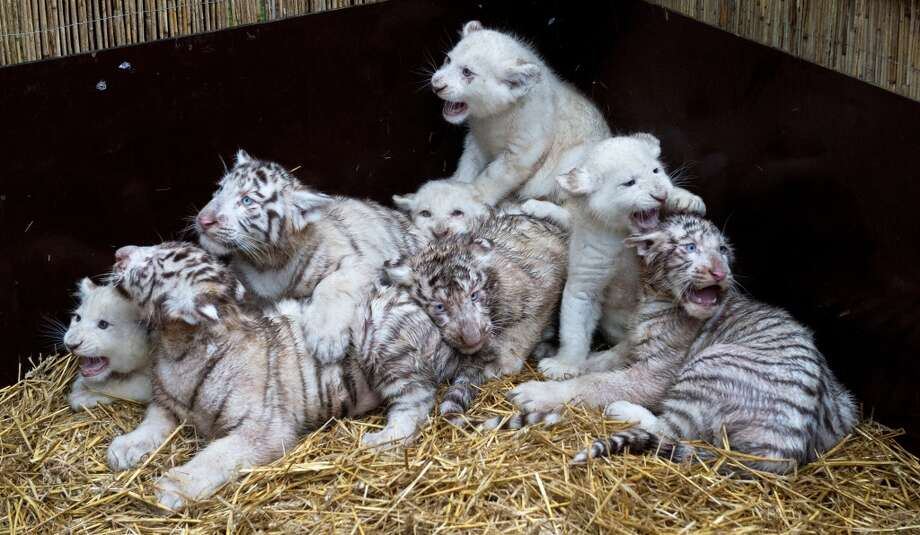 Four white lions and four white tigers pose for a picture on January 30, 2013 at the Serengeti wildlife park in Hodenhagen, central Germany. The tiger cubs were born at the park in October 2012, the lion cubs in November 2012, also at the park.      AFP PHOTO / JULIAN STRATENSCHULTE    GERMANY OUTJULIAN STRATENSCHULTE/AFP/Getty Images Photo: JULIAN STRATENSCHULTE, AFP/Getty Images
