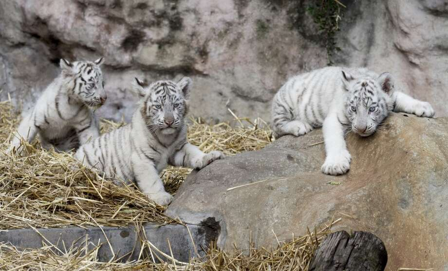 White tiger cubs play in their enclosure at the Buenos Aires Zoo in Argentina, Thursday, March 21, 2013.  The Argentine zoo is showing off four new white tiger cubs that Cleo, a Bengal white tiger, gave birth to on Jan. 14.  Zoo officials say the blue-eyed cubs with coats of black stripes on white bring the number  of White Bengal tigers at the zoo to nine. (AP Photo/Natacha Pisarenko) Photo: Natacha Pisarenko, Associated Press