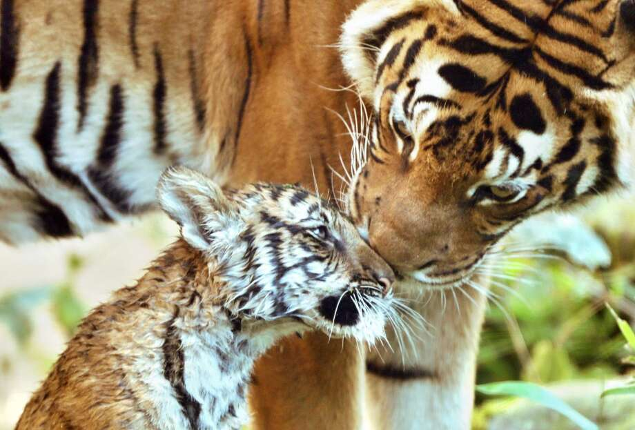 "Female tiger cub Sahaja (L) enjoys the cuddling of her mother Cindy in their enclosure at the zoo in Halle/Saale in eastern Germany on October 1, 2013. The tiger cub was born June 21, 2013 and named Sahaja , ""The only one"" since her two siblings died after birth.  AFP PHOTO / DPA/ JAN WOITAS       GERMANY OUTJAN WOITAS/AFP/Getty Images Photo: JAN WOITAS, AFP/Getty Images"