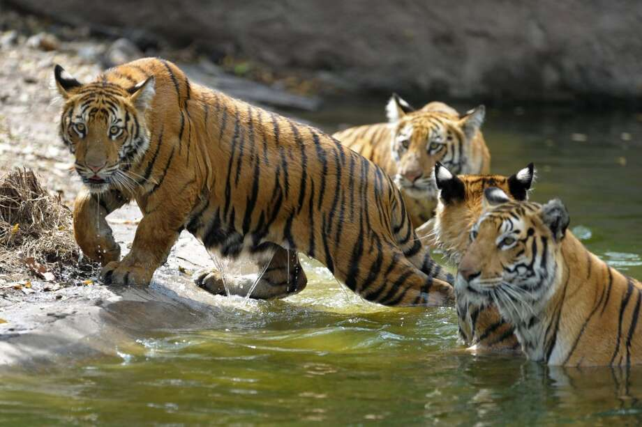 Three nine-month old tiger cubs are pictured in their enclosure with their monther Aparna (R) at the Nehru Zoological Park in Hyderabad on February 15, 2014. The cubs, which have yet to be named, were presented for their first public viewing at the zoo. AFP PHOTO / Noah SEELAMNOAH SEELAM/AFP/Getty Images Photo: NOAH SEELAM, AFP/Getty Images