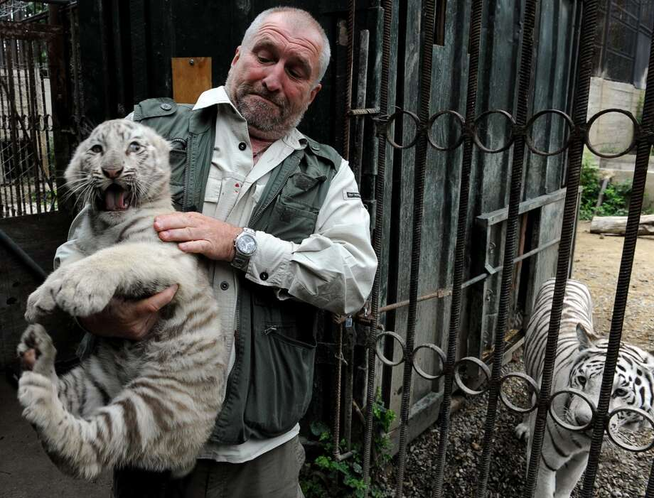 Tbilisi Zoo director, Zurab Gurielidze, holds a ten-week-old white tiger cub while its mother, Cameron, looks from a cage in the zoo in Georgia's capital Tbilisi, on May 29, 2013. The white tigress gave birth to the three cubs in March. AFP PHOTO /VANO SHLAMOVVANO SHLAMOV/AFP/Getty Images Photo: VANO SHLAMOV, AFP/Getty Images