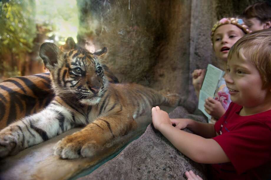 "Sumatran tiger cub ""C.J."" makes his first public appearance at the Sacramento Zoo in front of visiting children Kristina Polyashenko 6, left, and her brother Max Polyashenko, 4, from Roseville, Calif., in Sacramento on Tuesday, June 11, 2013. The cub was born to male tiger ""Castro,"" and female tiger ""Bahagia"" at the Sacramento Zoo on March 3. (AP Photo/The Sacramento Bee, Randall Benton)  MAGS OUT; LOCAL TV OUT (KCRA3, KXTV10, KOVR13, KUVS19, KMAZ31, KTXL40); MANDATORY CREDIT Photo: Randall Benton, Associated Press"