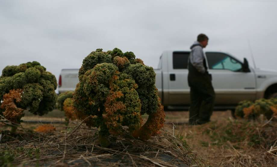 Virginia: In this photo taken on Wednesday, Feb. 26, 2014, farmer Mike Cullipher, background, walks by a truck as kale, damaged from the cold winter, rest in a field at his farm in Virginia Beach, Va. Kale, a hearty, cold-weather crop, as well as collard greens, has taken a beating from the cold winter weather. Photo: Vicki Cronis-Nohe, Associated Press