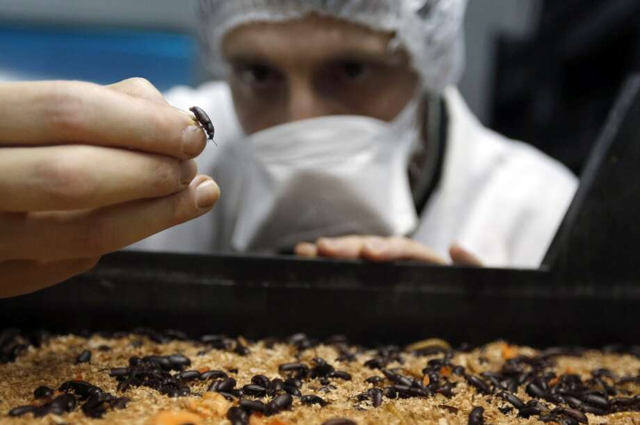 France: An employee inspects mealworms and mealworm beetles at the Micronutris plant in Saint Orens de Gameville, southwestern France, February 24, 2014. According to Micronutris, the company is the only firm in Europe that raises insects for human consumption. The insects are sold live, dehydrated or rendered into a flour-like powder for use in pastries. Photo: REGIS DUVIGNAU, Reuters