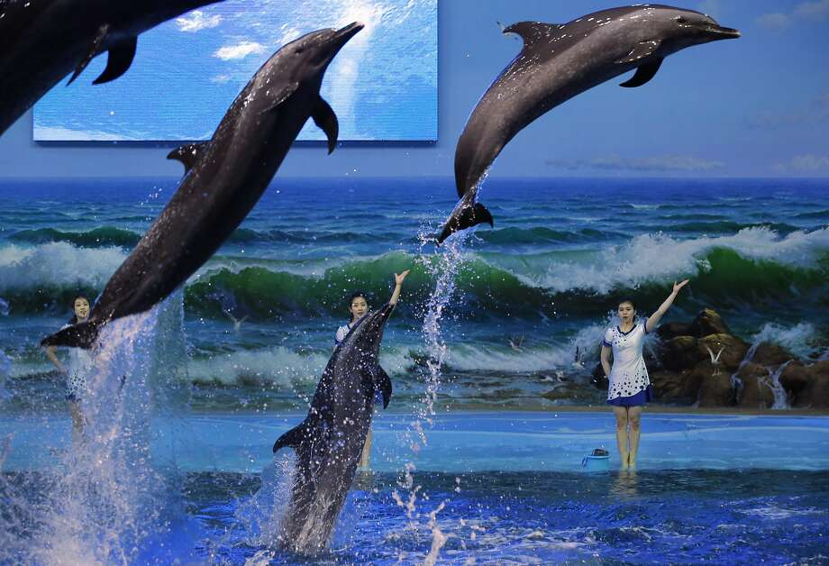 SeaWorld, North Korea-style:Trainers summon dolphins to do their bidding in   Pyongyang. Photo: Vincent Yu, Associated Press