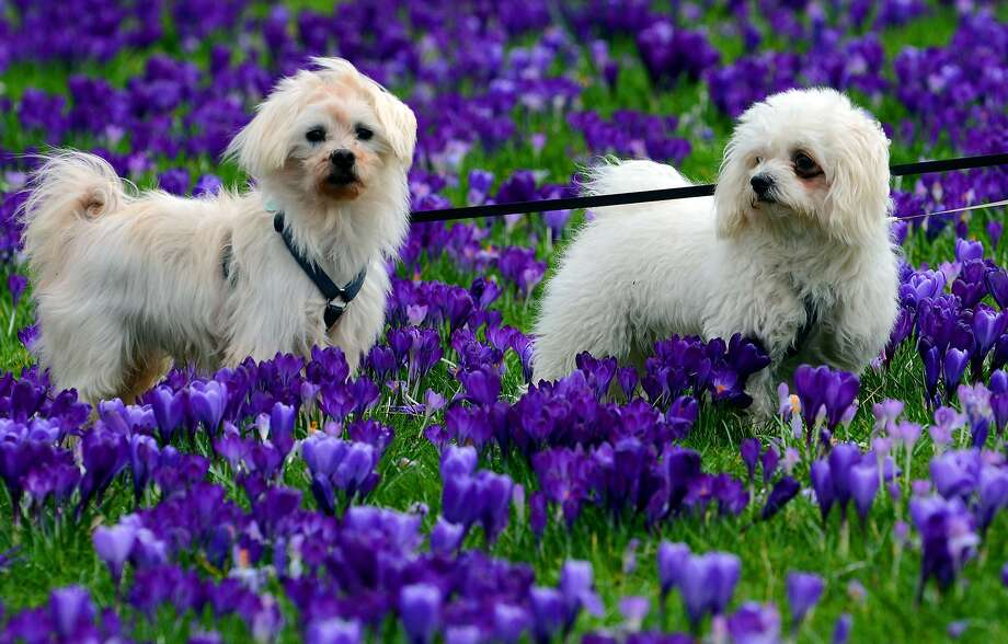 Signs of spring:Crocuses are blossoming and puppies are bounding in Duesseldorf. Photo: Horst Ossinger, AFP/Getty Images
