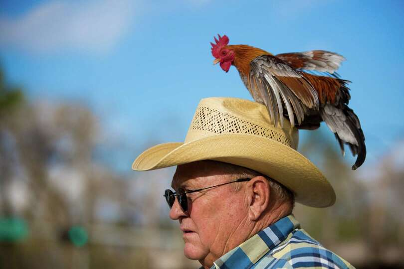 Randy Crowder walk with his rooster Tyson at Memorial Park during the arrival of the trail riders, F