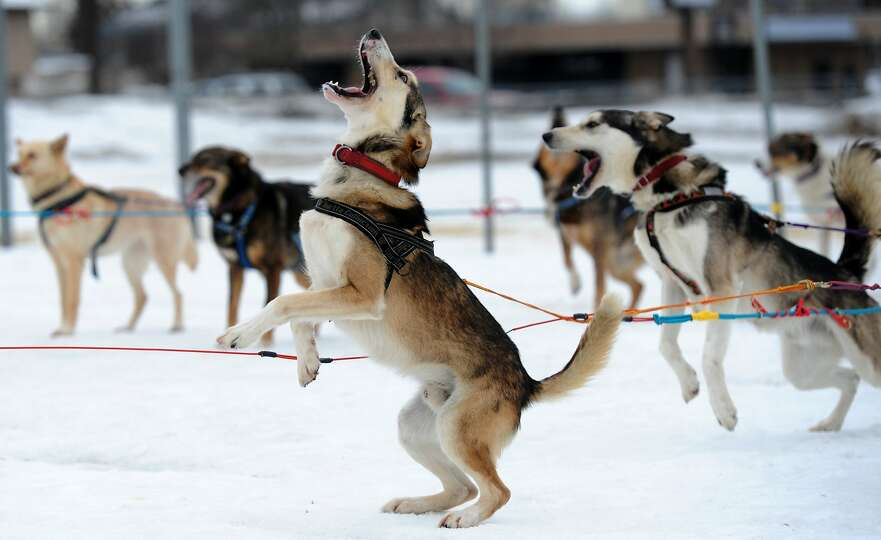 Saki is ready to go as Iditarod musher Michelle Phillips of Tagish, Yukon Territory, takes her dogs
