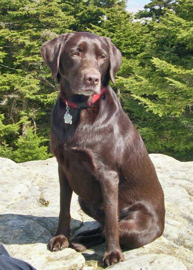Bookah, a chocolate lab who ate poisoned meat left in the woods in the Catskills. (Photo provided by Alan Via)