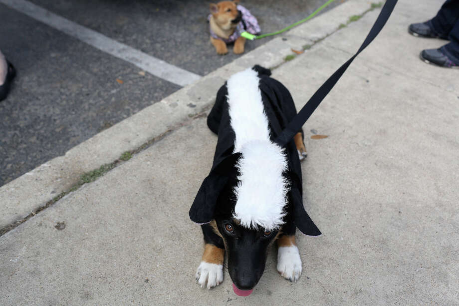 Canines Dressed Their Best For Pet Fiesta San Antonio Express News