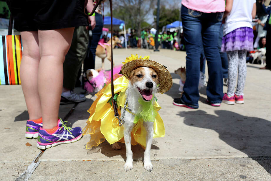 Khaleesi, owned by Hilary DeBow, waits to compete in the costume contest during Bark in the Park - Perrito Grito Pet Fiesta at Woodlawn Lake in San Antonio on Saturday, March 1, 2014. Photo: Lisa Krantz, SAN ANTONIO EXPRESS-NEWS / SAN ANTONIO EXPRESS-NEWS