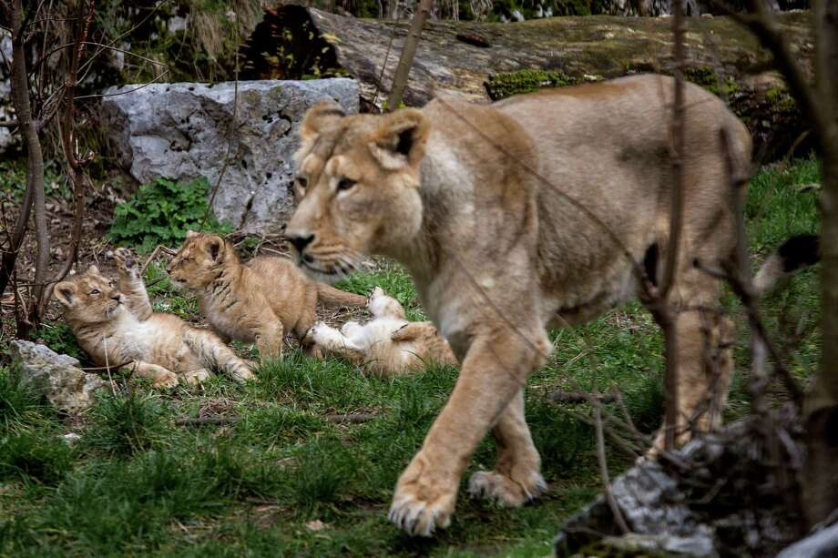 Asiatic lion Shiva, the mother of the three cubs, looks out over her domain as their cubs play in the Besancon zoo, eastern France, Thursday, Feb. 27, 2014. The Besancon zoo held off announcing the Dec. 31 2013 births until this week, afraid the two females and a male might not survive. There are about 300 Asiatic lions in the wild, all in an Indian reserve, and according to the WWF  they are one of the world's rarest species. Photo: Laurent Cipriani, AP / AP2014