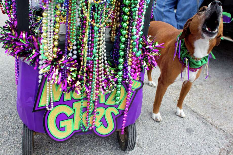 "A dog named ""D"" barks next to a stand of beads as hundreds of owners and their pets paraded down the Seawall during the Krewe of Barkus & Meoux Parade, one of many parades during  Mardi Gras! Galveston festivities Sunday, March 2, 2014, in Galveston.  The Galveston Island Humane Society began the Krewe of Barkus and Meoux Parade in 1998 as a way to involve the community in the spirit of Mardi Gras and feature their family pets. Photo: Johnny Hanson, Houston Chronicle / © 2014  Houston Chronicle"
