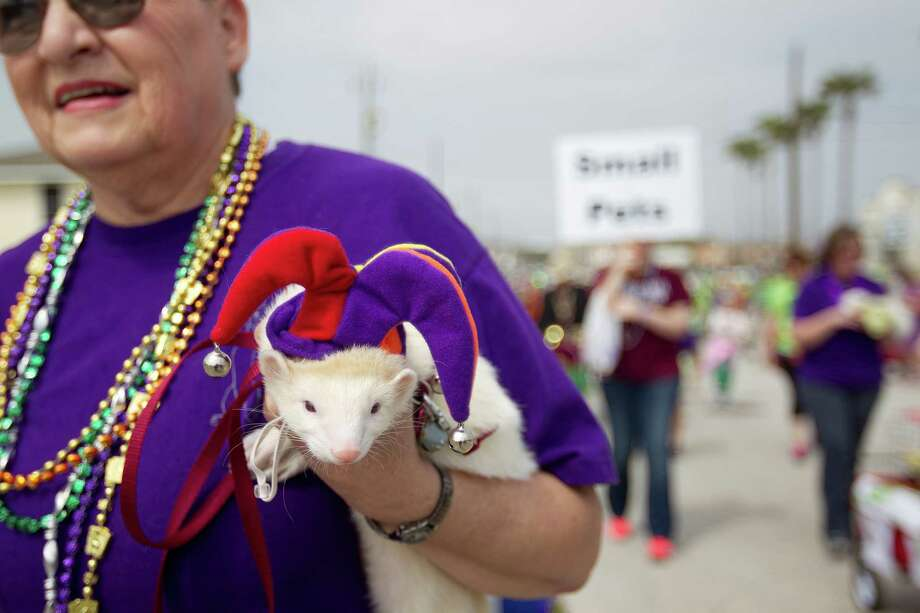 Jimi Hummel, with the Houston Area Ferret Association and a ferret named Skippy joined hundreds of pets and their owners as they paraded down the Seawall during the Krewe of Barkus & Meoux Parade, one of many parades during  Mardi Gras! Galveston festivities Sunday, March 2, 2014, in Galveston.  The Galveston Island Humane Society began the Krewe of Barkus and Meoux Parade in 1998 as a way to involve the community in the spirit of Mardi Gras and feature their family pets. Photo: Johnny Hanson, Houston Chronicle / © 2014  Houston Chronicle
