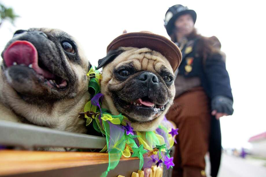Pugs, named Baby, left and Pugsley, right, prepare to get pulled in a wagon by their owner, Roy Smith as hundreds of pets and their owners paraded down the Seawall during the Krewe of Barkus & Meoux Parade, one of many parades during  Mardi Gras! Galveston festivities Sunday, March 2, 2014, in Galveston.  The Galveston Island Humane Society began the Krewe of Barkus and Meoux Parade in 1998 as a way to involve the community in the spirit of Mardi Gras and feature their family pets. Photo: Johnny Hanson, Houston Chronicle / © 2014  Houston Chronicle