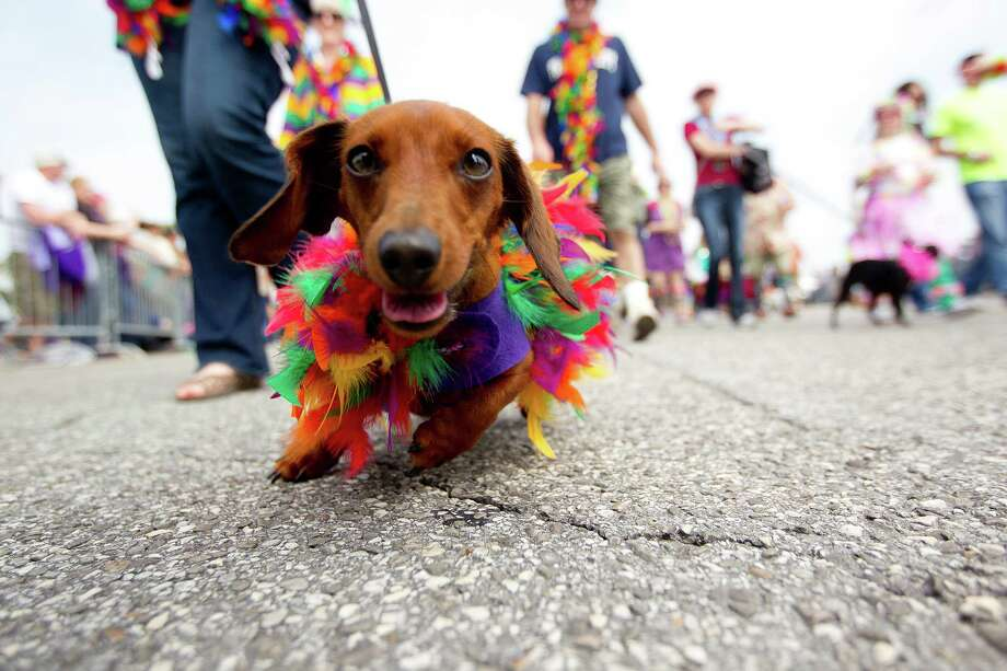 Oliver the Dachshund wears festive colors as she and hundreds of pets and their owners paraded down the Seawall during the Krewe of Barkus & Meoux Parade, one of many parades during  Mardi Gras! Galveston festivities Sunday, March 2, 2014, in Galveston.  The Galveston Island Humane Society began the Krewe of Barkus and Meoux Parade in 1998 as a way to involve the community in the spirit of Mardi Gras and feature their family pets. Photo: Johnny Hanson, Houston Chronicle / © 2014  Houston Chronicle