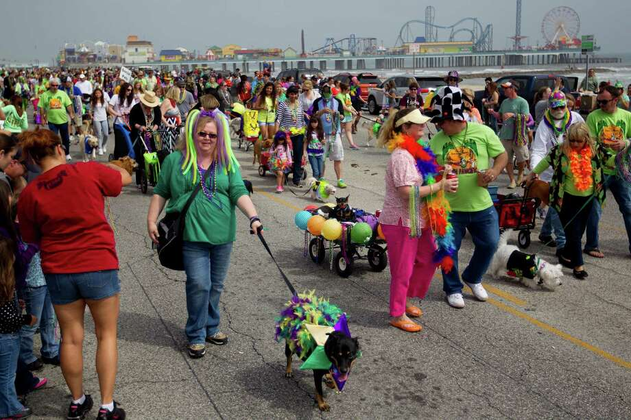 Hundreds of pets and their owners participated parading down the Seawall during the Krewe of Barkus & Meoux Parade, one of many parades during  Mardi Gras! Galveston festivities Sunday, March 2, 2014, in Galveston.  The Galveston Island Humane Society began the Krewe of Barkus and Meoux Parade in 1998 as a way to involve the community in the spirit of Mardi Gras and feature their family pets. Photo: Johnny Hanson, Houston Chronicle / © 2014  Houston Chronicle