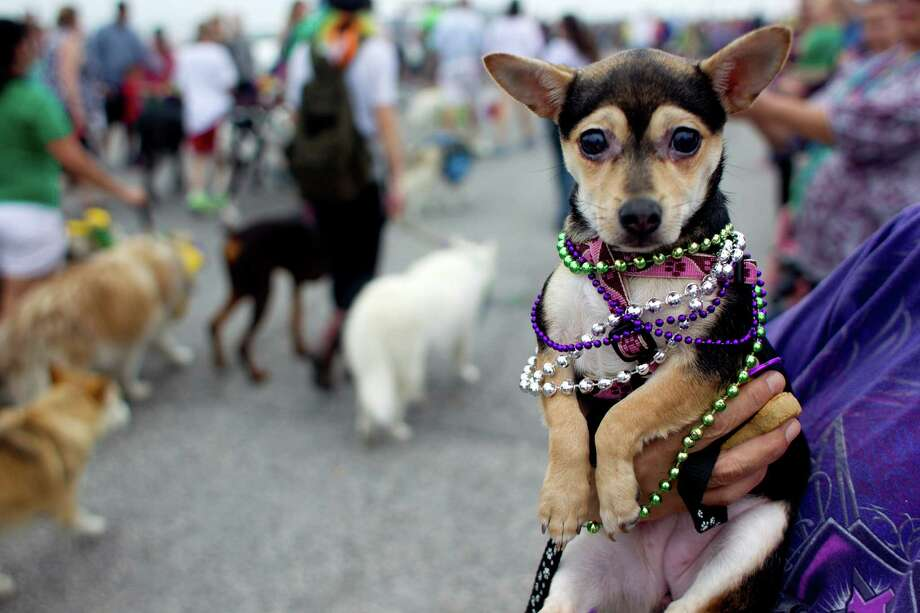 Held by her owner, Cindy Martinez, Molly the Chihuahua wears her beads while watching the Krewe of Barkus & Meoux Parade, one of many parades during  Mardi Gras! Galveston festivities Sunday, March 2, 2014, in Galveston.  The Galveston Island Humane Society began the Krewe of Barkus and Meoux Parade in 1998 as a way to involve the community in the spirit of Mardi Gras and feature their family pets. Photo: Johnny Hanson, Houston Chronicle / © 2014  Houston Chronicle