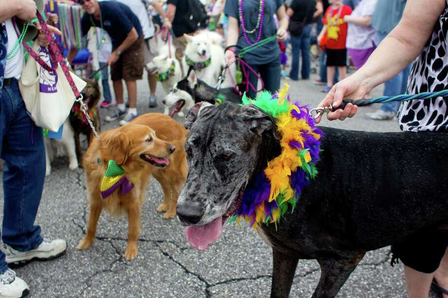 Great dane, Gunner, gets ready to parade down the Seawall during the Krewe of Barkus & Meoux Parade, one of many parades during  Mardi Gras! Galveston festivities Sunday, March 2, 2014, in Galveston.  The Galveston Island Humane Society began the Krewe of Barkus and Meoux Parade in 1998 as a way to involve the community in the spirit of Mardi Gras and feature their family pets. Photo: Johnny Hanson, Houston Chronicle / © 2014  Houston Chronicle
