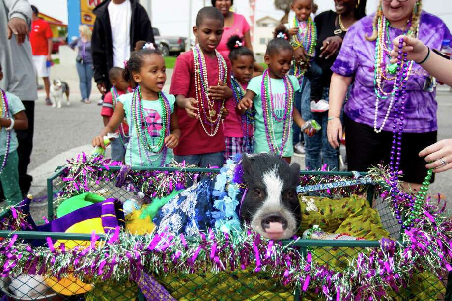 Emmett the pot bellied pig, rode in a decorated wagon as hundreds of pets and their owners paraded down the Seawall during the Krewe of Barkus & Meoux Parade, one of many parades during  Mardi Gras! Galveston festivities Sunday, March 2, 2014, in Galveston.  The Galveston Island Humane Society began the Krewe of Barkus and Meoux Parade in 1998 as a way to involve the community in the spirit of Mardi Gras and feature their family pets. Photo: Johnny Hanson, Houston Chronicle / © 2014  Houston Chronicle