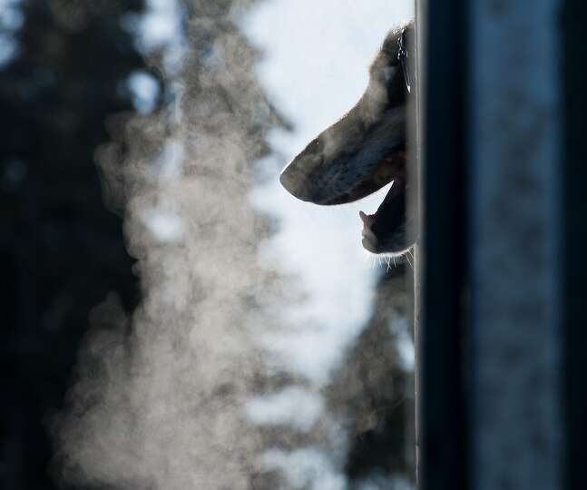 Jem, a dog in Justin Savidis' team pokes his head out of the dog truck before the start of the Idita