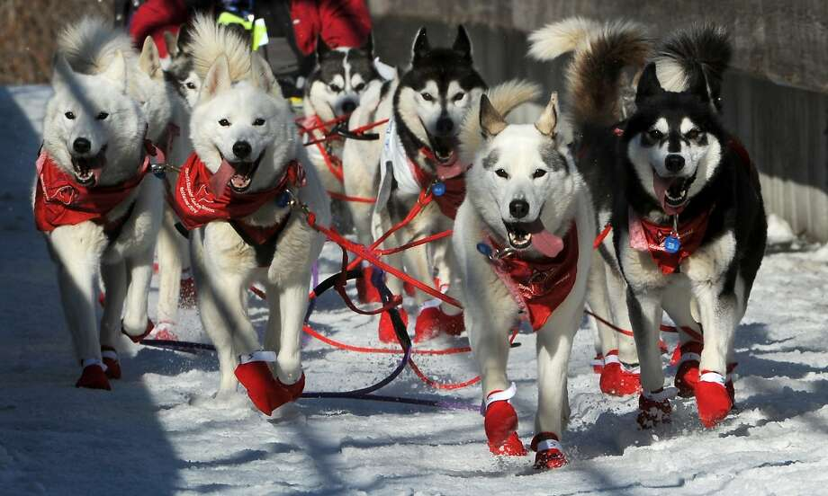The dogs of Canadian musher Karen Ramstead, from Perryval Alberta, are decked out in appropriate colors as they cross the bridge to Goose Lake during the ceremonial start for the 2014 Iditarod Trail Sled Dog Race on Saturday, March 1, 2014, in Anchorage, Alaska. (AP Photo/The Anchorage Daily News, Erik Hill)  LOCAL TV OUT (KTUU-TV, KTVA-TV) LOCAL PRINT OUT (THE ANCHORAGE PRESS, THE ALASKA DISPATCH) Photo: Erik Hill, Associated Press