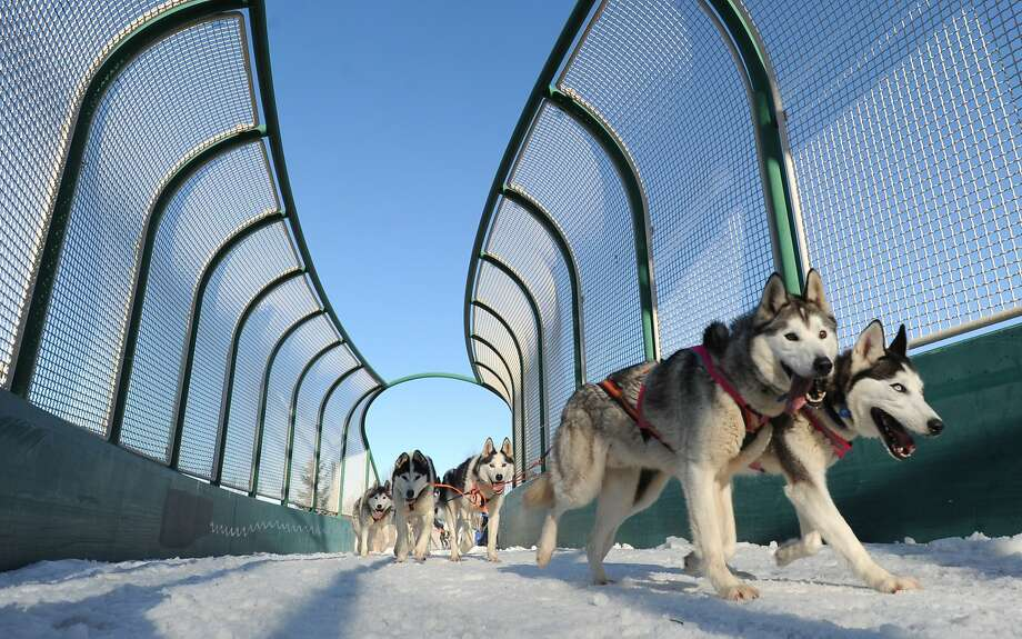 Siberian huskies Fritz, left, and Ruby lead the rookie team of Lisbet Norris of Willow, Alaska, across a bridge over Tudor Road during the ceremonial start for the 2014 Iditarod Trail Sled Dog Race on Saturday, March 1, 2014, in Anchorage, Alaska. (AP Photo/The Anchorage Daily News, Bill Roth)  LOCAL TV OUT (KTUU-TV, KTVA-TV) LOCAL PRINT OUT (THE ANCHORAGE PRESS, THE ALASKA DISPATCH) Photo: Bill Roth, Associated Press