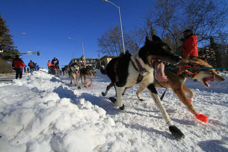 Musher Michelle Phillips of Tagish, Yukon Territory, drives her team of sled dogs down the Cordova Street hill during the ceremonial start of the 2014 Iditarod Trail Sled Dog Race on Saturday, March 1, 2014, in Anchorage, Alaska. (AP Photo/Dan Joling) Photo: Dan Joling, Associated Press