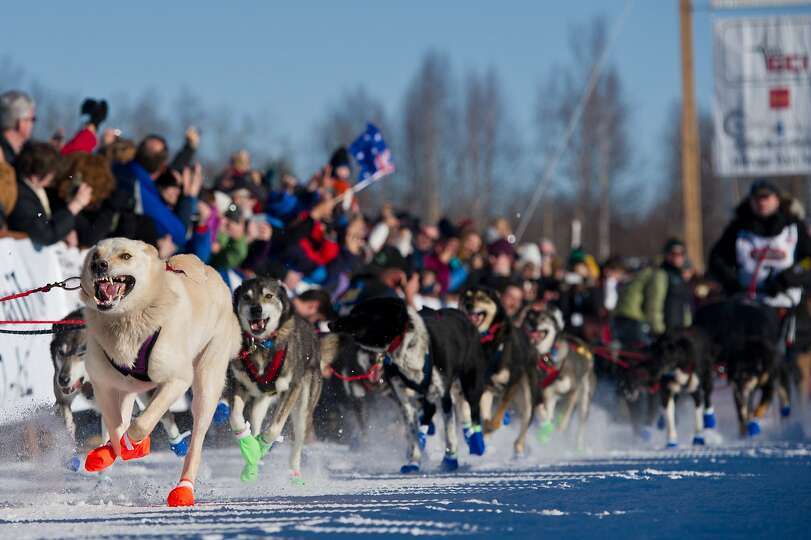 Dogs in Curt Perano's team leave the starting line of the Iditarod Trail Sled Dog Race in Willow Lak