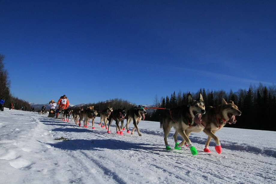 Jake Berkowitz of Big Lake, Alaska, drives his dog team along Campbell Air Strip near the end of the ceremonial start of the 2014 Iditarod Trail Sled Dog Race on Saturday, March 1, 2014, in Anchorage, Alaska. (AP Photo/Dan Joling) Photo: Dan Joling, Associated Press