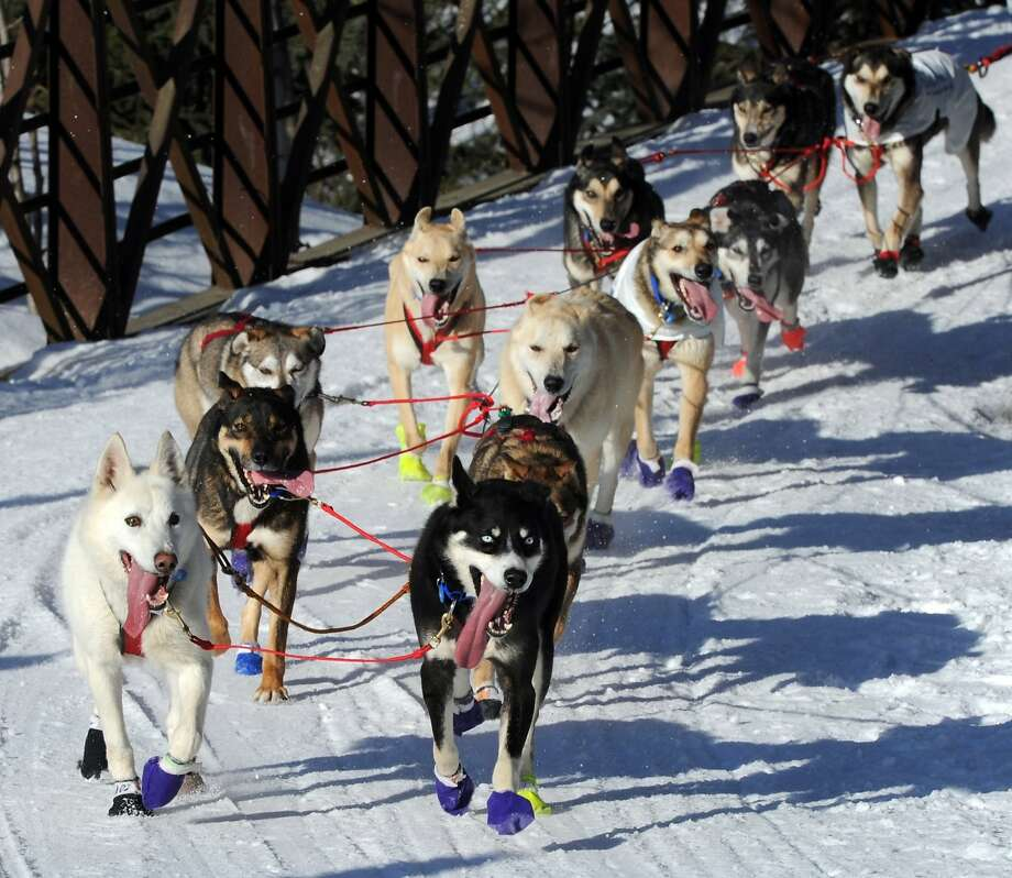 The dogs of Marcelle Fressineau of Whitehorse, Yukon Territory, Canada, trot down the Chester Creek trail during the ceremonial start for the 2014 Iditarod Trail Sled Dog Race on Saturday, March 1, 2014, in Anchorage, Alaska. (AP Photo/The Anchorage Daily News, Erik Hill)  LOCAL TV OUT (KTUU-TV, KTVA-TV) LOCAL PRINT OUT (THE ANCHORAGE PRESS, THE ALASKA DISPATCH) Photo: Erik Hill, Associated Press